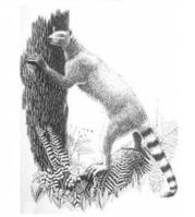 An early carnivore that was a close relative of Miacis uintensis, Vulpavus. (Credit: Marlene Donnelly and The Field Museum)
